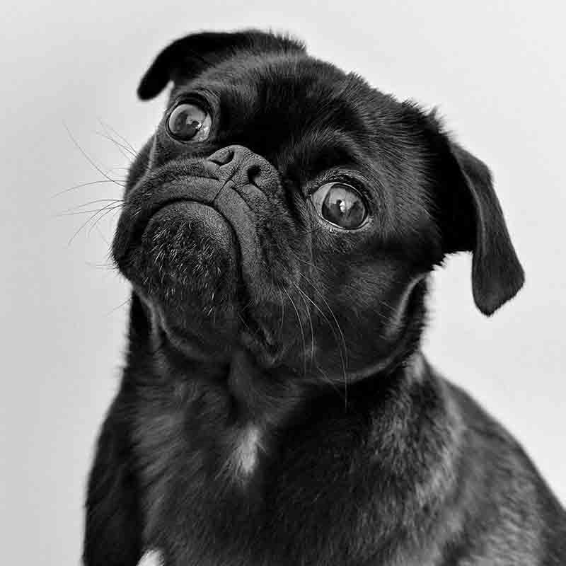 un joli petit carlin noir qui penche la tête sur le côté et fait la tête.